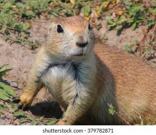 Prairie dog on alert