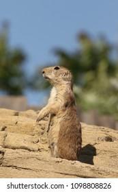 Prairie dog on guard
