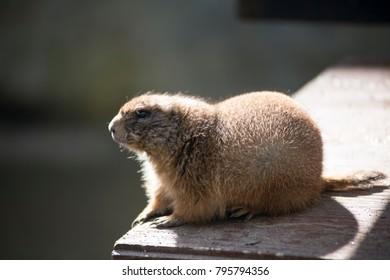 prairie dog  on wood