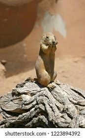 A prairie dog sits on top of a log nibbling on some food
