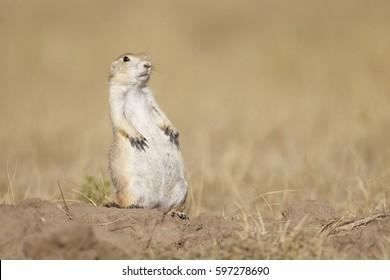 A prairie dog sitting up