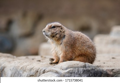 Prairie dog is sitting on the rock