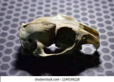 Prairie dog skull