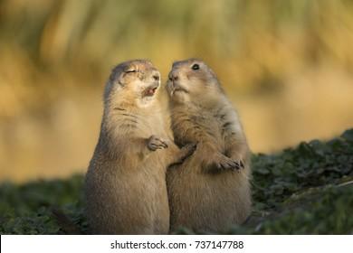 Prairie dog sneeze funny