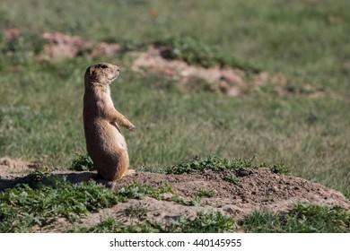 Prairie Dog Stance