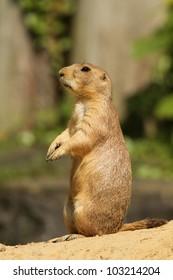 Prairie dog standing upright