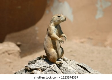 A prairie dog standing very still alert to danger ad predators