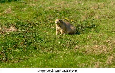 Prairie dog standing very still in a meadow.