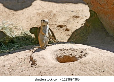 A prairie dog stands upright alertly guarding its burrow