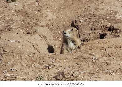 Prairie dog sticking head out of hole in ground on sunny day