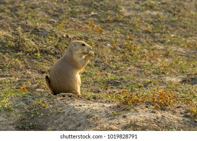 Prairie dog at Theodore Roosevelt National Park, ND, USA