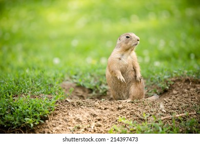 Prairie Dog - This is a shot of a cute prairie dog coming out of the ground to have a look around.