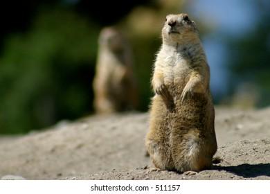Prairie Dog Upright