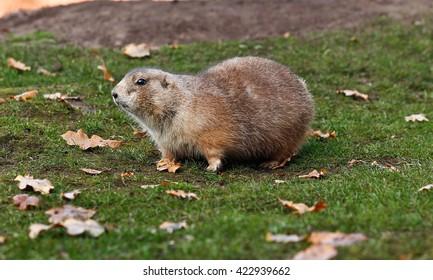 Prairie dog watchfull in the grass