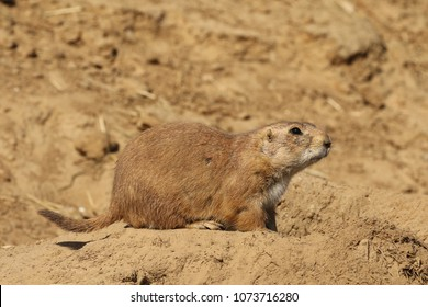 Prairie dog watching to the right