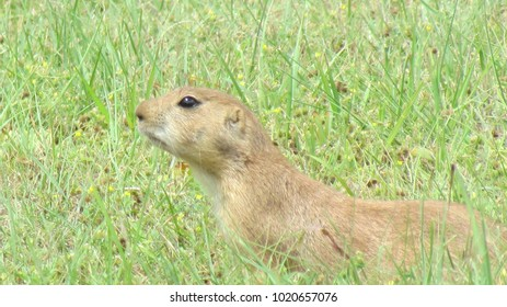 Prairie Dog in western Kansas