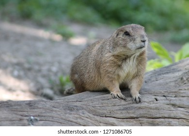 Prairie Dog at a zoo