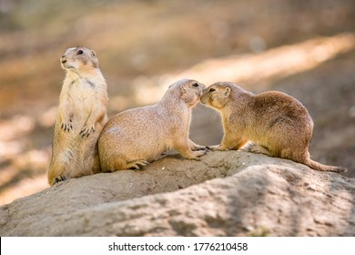 Prairie Dogs.Two Prairie Dogs cuddling and kissing each other. Prairie Dogs in Love.Close up