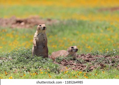 Prairie dogs (Cynomys ludovicianus) at Wichita Mountains National Wildlife Refuge