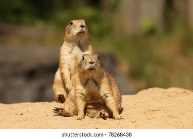 Prairie dogs (focus on the first one)