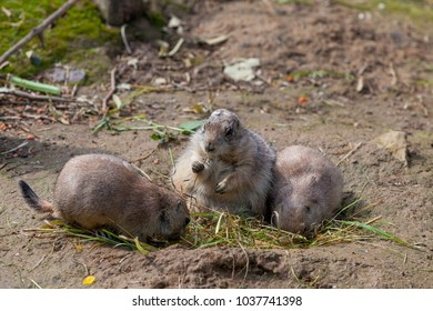 prairie dogs (genus Cynomys) eating grass