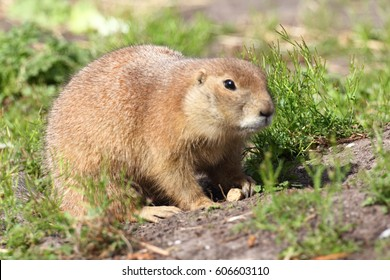 Prairie dogs (genus Cynomys) are herbivorous burrowing rodents native to the grasslands of North America.