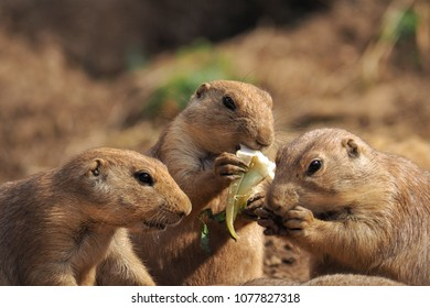 Prairie Dogs hungrily eating their lunch with their friends