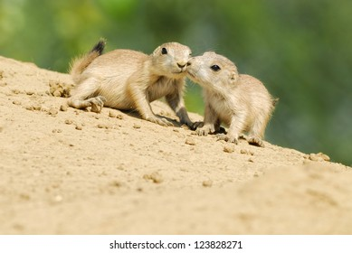Prairie Dogs Kissing - A pair of baby Prairie Dogs looking into the camera sitting on the side of an earth mound with a blurred green foliage background
