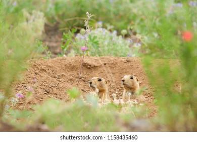 Prairie dogs near Sunset Crater, Arizona USA