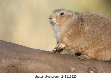 Prairie Dogs are a rodent native to the North American prairies