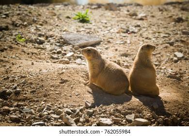 Prairie Dogs at the Sonora Desert, Tucson, AZ, USA
