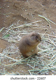 Prairie dogs in their native environment. Nuisance in America but beloved pets in Japan.
