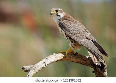 The Prairie Falcon (Falco mexicanus) is a medium-sized falcon of western North America, about the size of a Peregrine Falcon.