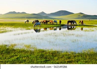 The prairie horses.The photo was taken in general lake,Wulanbutong grasslands.
