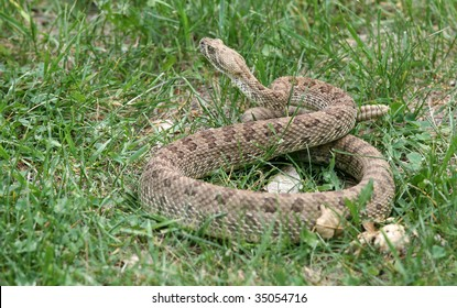 A prairie rattlesnake in Alberta, Canada.