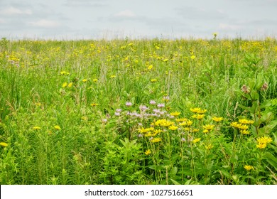 Prairie restoration area, once farmland, with a lot of wildflowers, including prairie coreopsis (binomial name: Coreopsis palmata), wild bergamot (Monarda fistulosa), and milkweed (Asclepias syriaca)