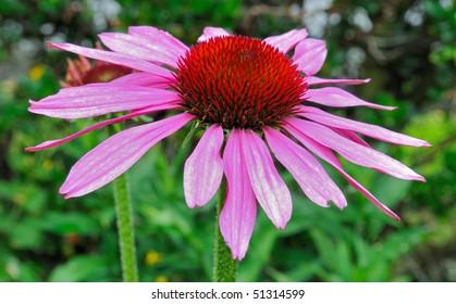 Prairie Splendor (Echinacea Purpurea) - Asteraceae