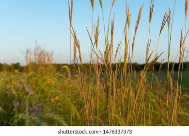 Prairie tallgrass on a beautiful Summer afternoon.  Dixon Waterfowl Refuge, Hennepin, Illinois