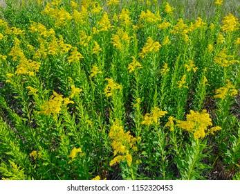 Prairie wildflower Goldenrod.