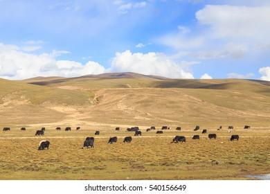 prairie with yak