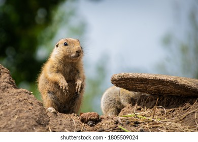 Prairiedog keeping an eye out