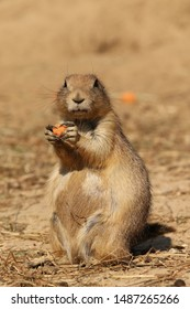 Prairie-dog looking at you while holding food