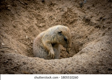Prairiedog playing in the sand