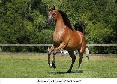 Prancing brown arabian horse.