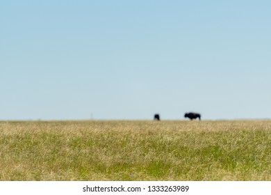Prarie Grasses and Out of Focus Bison on the horizon