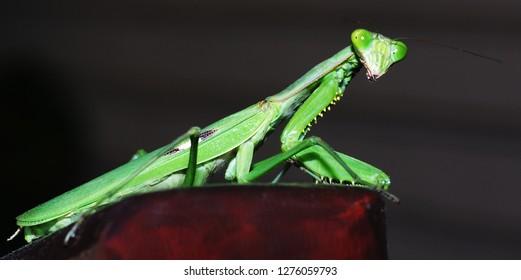pray mantis close up