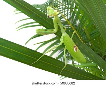 Praying or European or Mantis Religiosa standing on a Phoenix palm tree. Insect's clipping path included.
