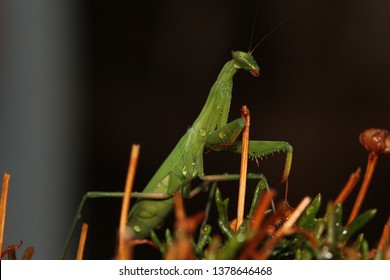 Praying Mantis. The African Mantis, this one is also called the Common Green Mantis. Genus Sphodromantis. Found in a garden in the Western Cape of South Africa.