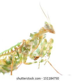 Praying mantis Blepharopsis meni?a isolated