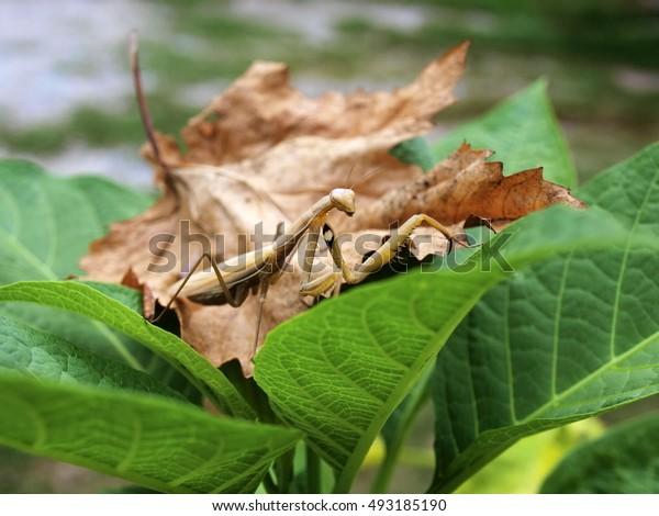 praying mantis brown
